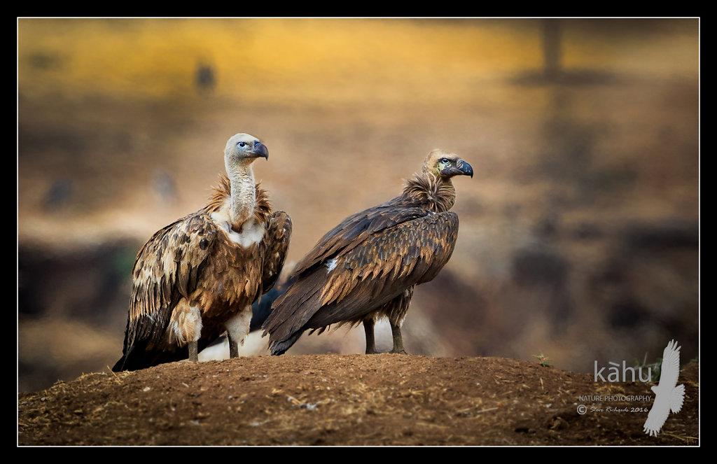 Vulture3.jpg