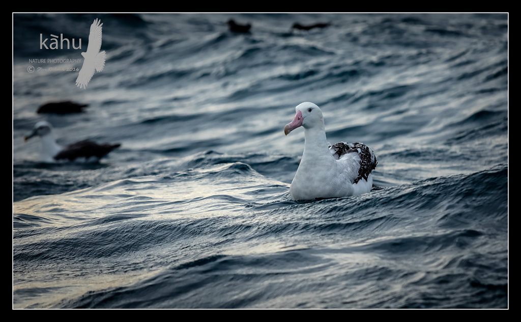 COOK STRAIT PELAGIC PHOTOGRAPHIC TRIP