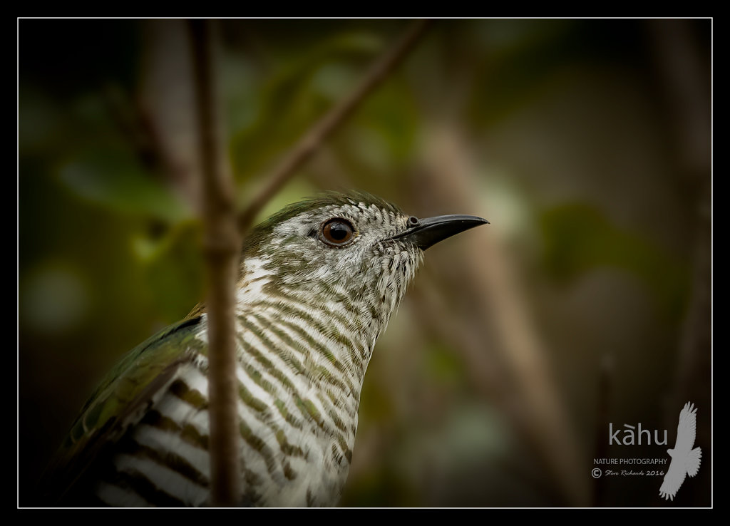 Shining Cuckoo close up