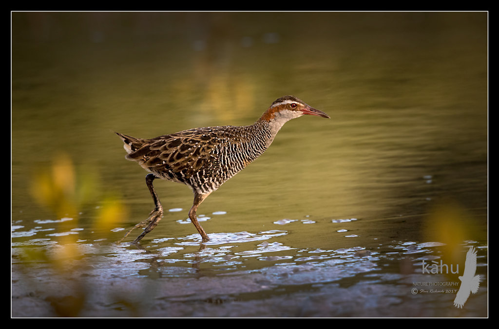 Banded Rail stalks across a pond