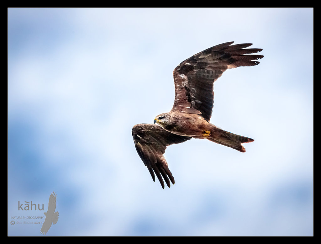 Australian Black Kite in flight