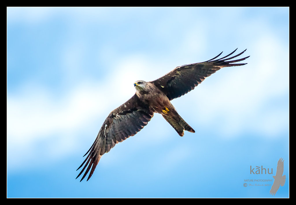 Australian Black Kite flies by