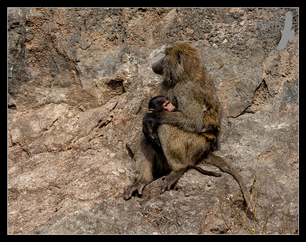 Olive-Baboon-with-young.jpg