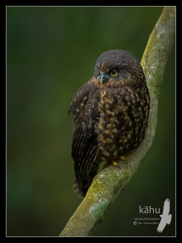 Morepork roosting in the forest