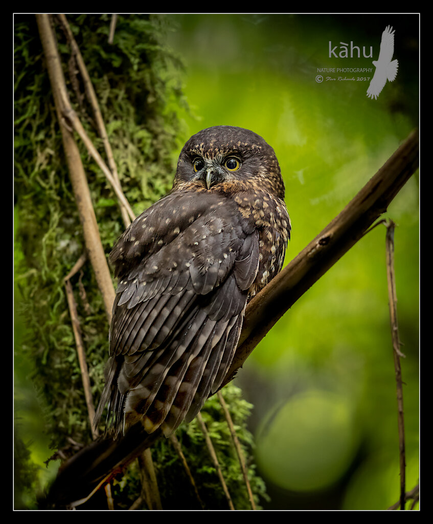 Suprised Morepork caught in a forest glade
