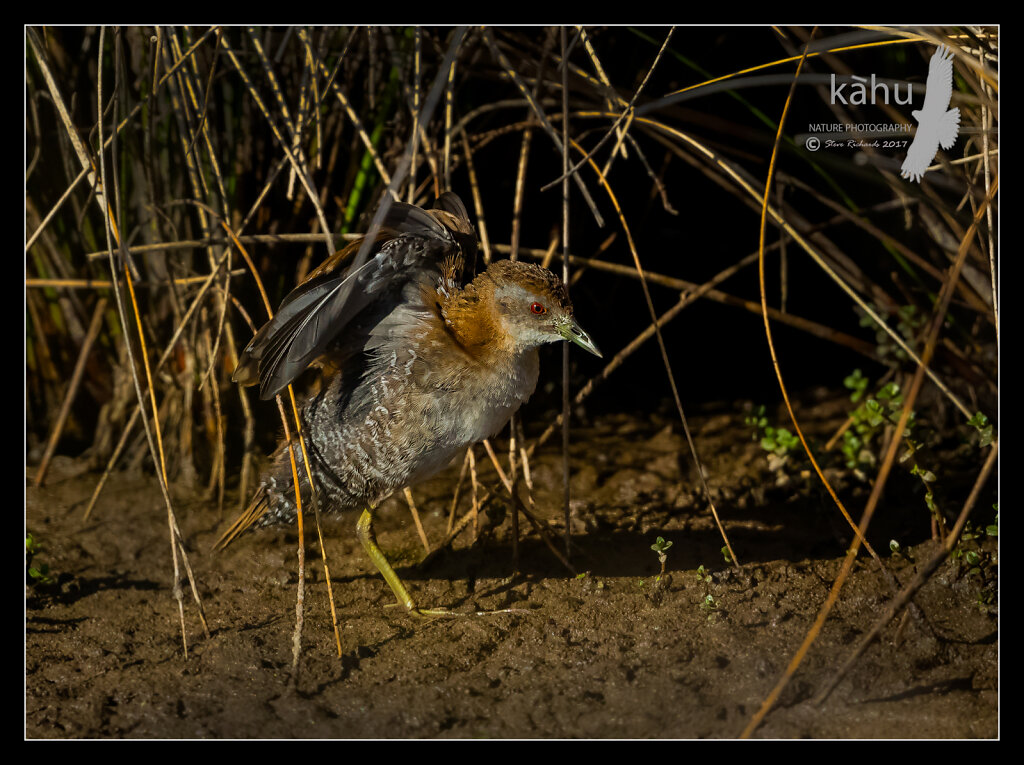 Marsh Crake stretching