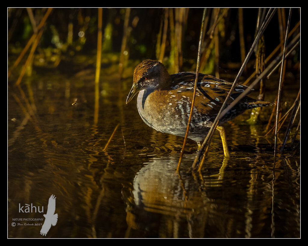 Marsh Crake misses a flying insect