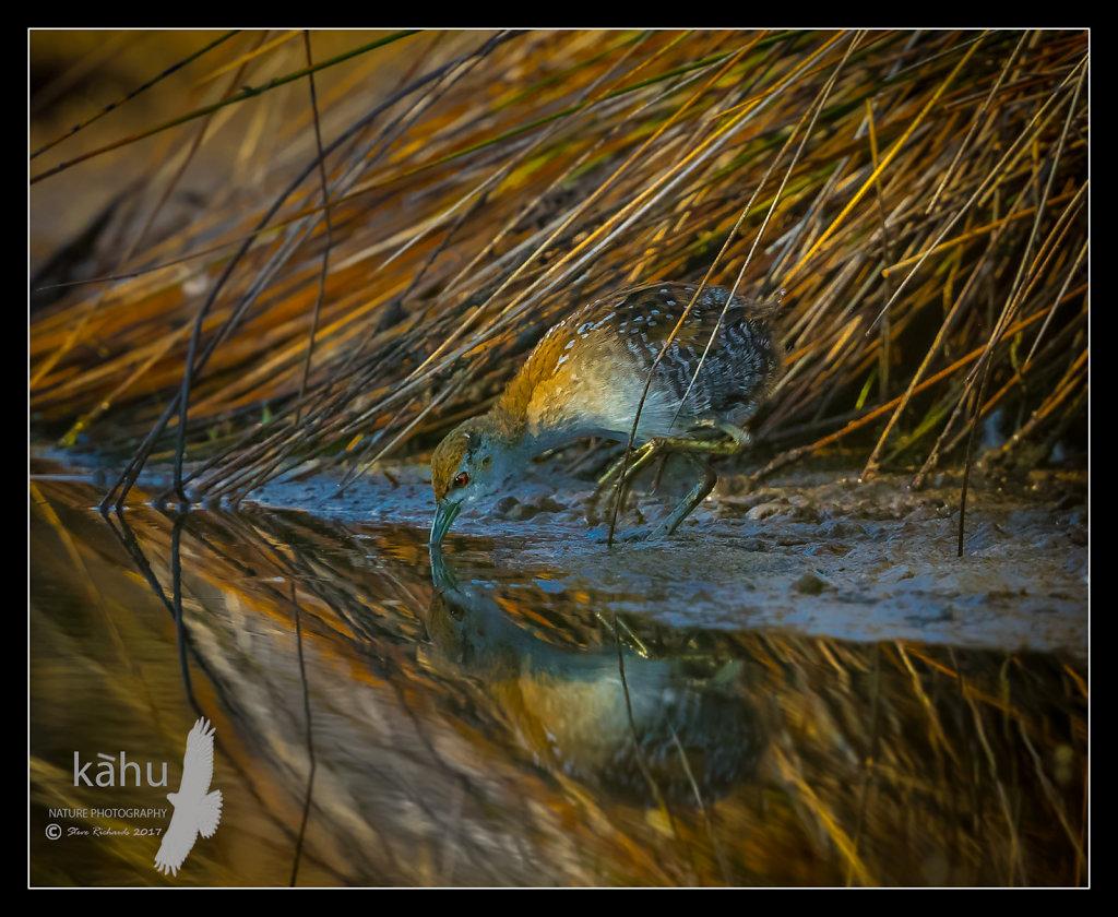 Marsh Crake