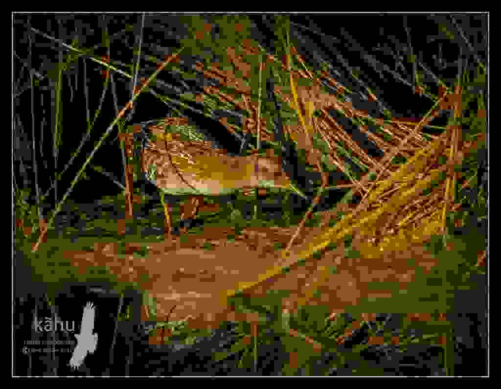 Marsh Crake  spies a bug