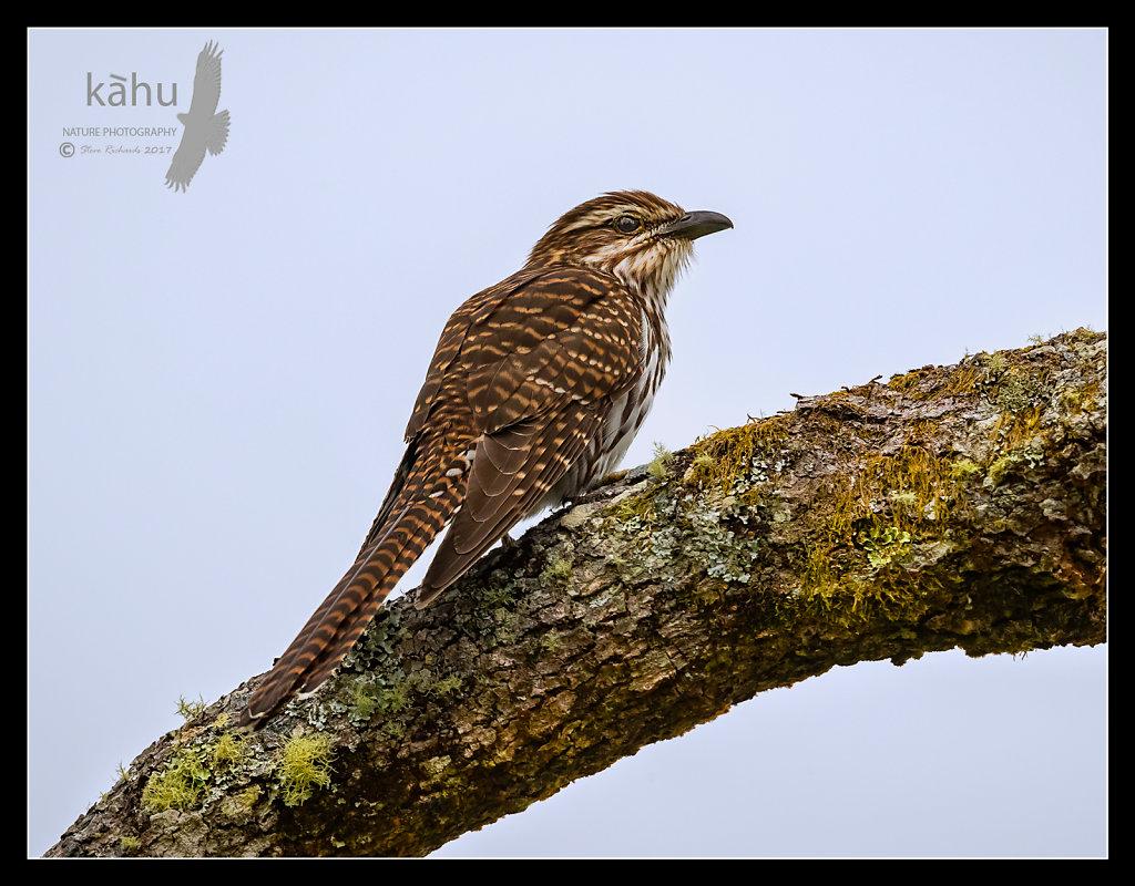 Long Tailed Cuckoo