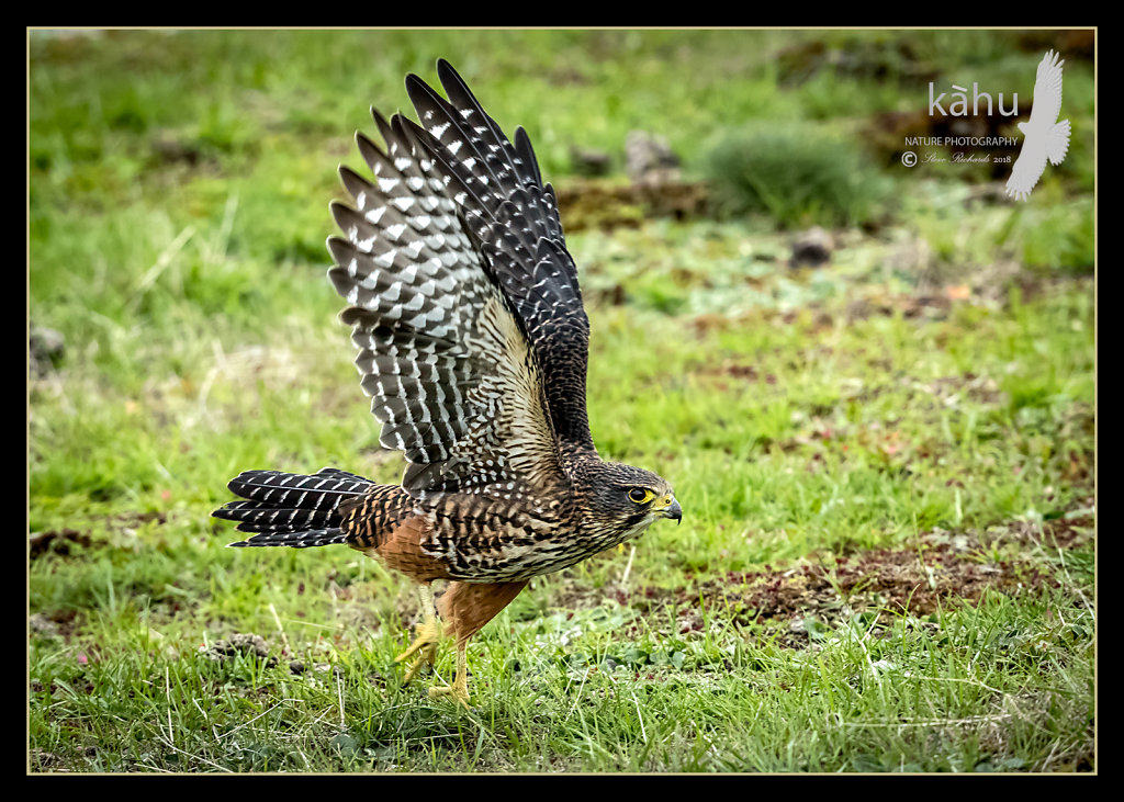 Male Falcon running across the grass
