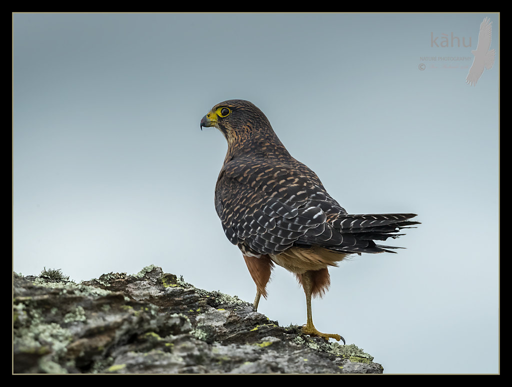 Male Falcon scans the area for prey, Otago