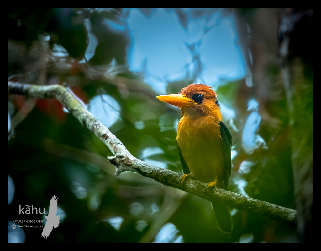 Yellow-Billed-Kingfisher2.jpg