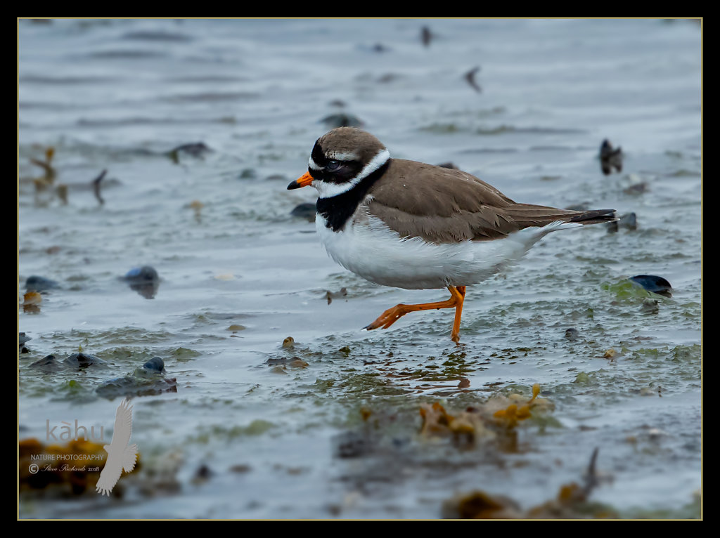 Common-ringed-Plover2.jpg