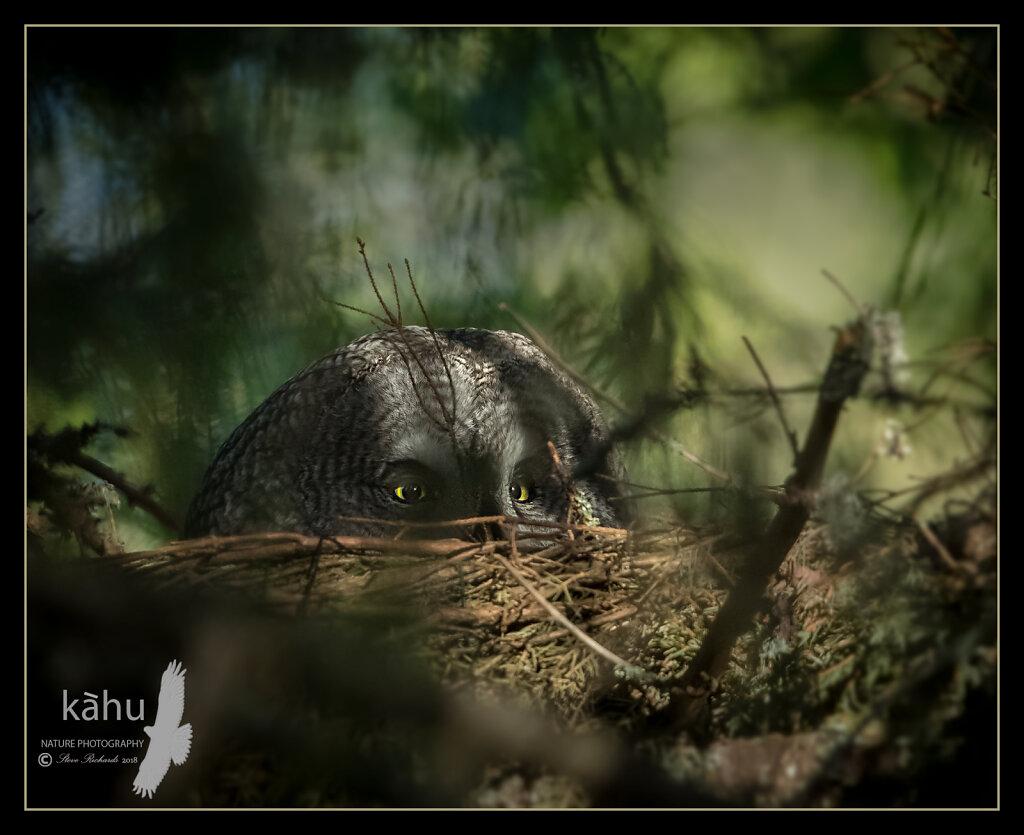 Gray-Owl.jpg