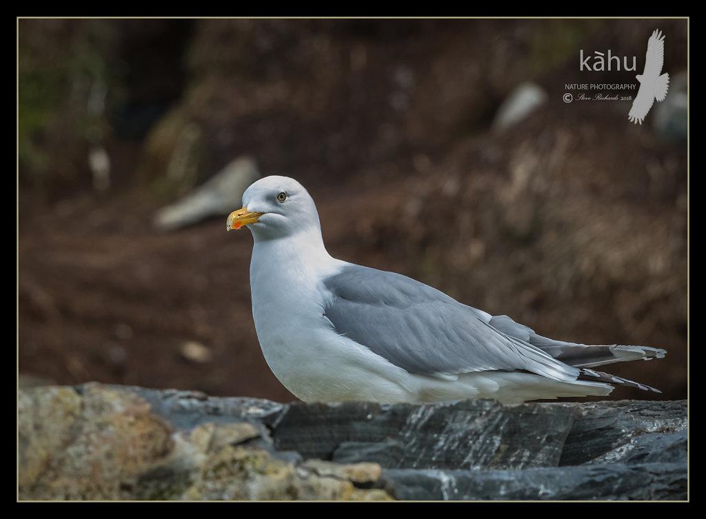 Herring-gull.jpg
