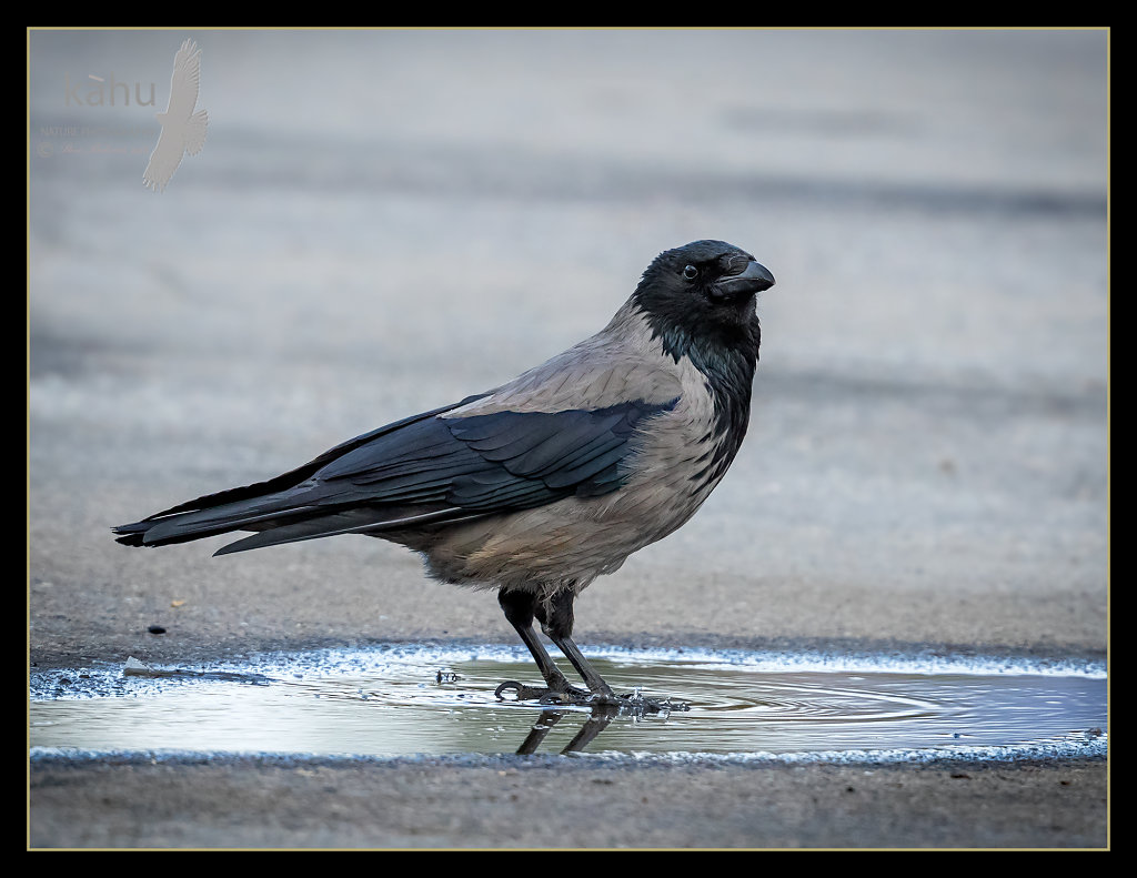 Hooded-crow.jpg