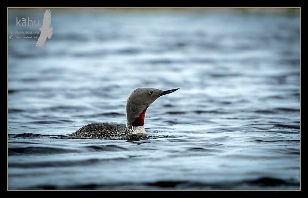 Red-Thoated-diver2.jpg