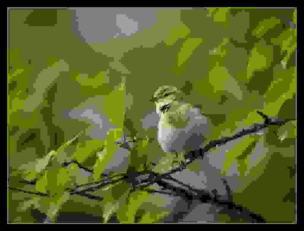 Willow-warbler.jpg