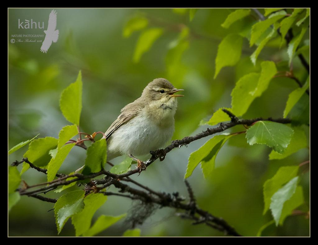 Willow-warbler2.jpg