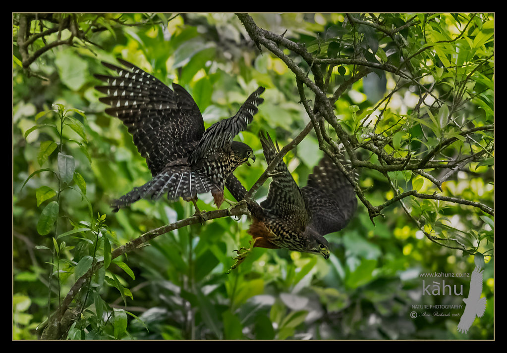 A pair of Falcons playing around