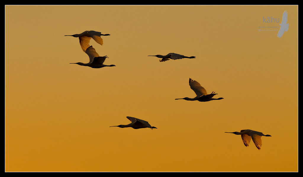 Spoonbills fly past in evening light   SL5