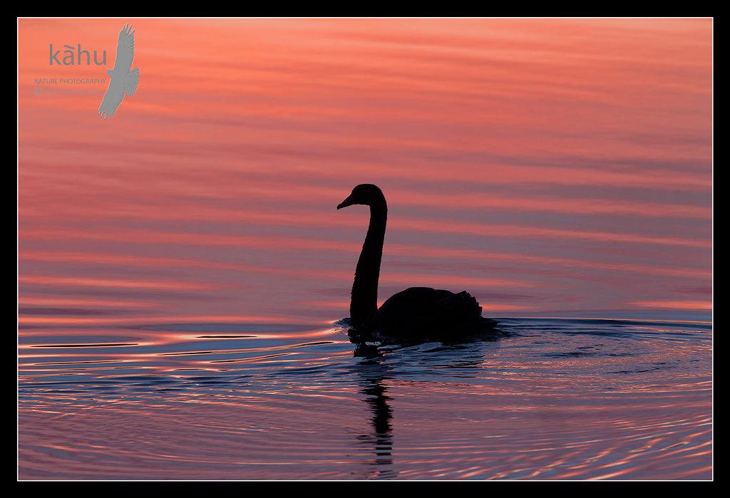 Swan in Waikanae River   SB26