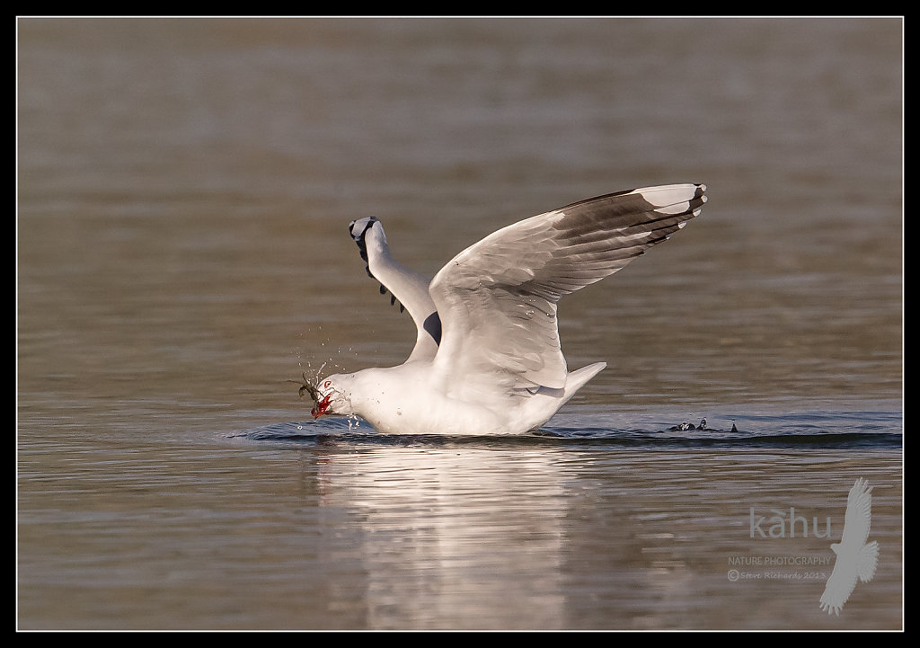 Red Billed Gull wrestles with a crab   SB22