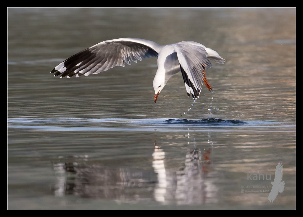 Red Billed Gull leaping into the air  SB24