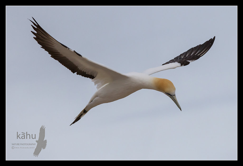 Gannet looking for its mate, Cape Kidnappers    SB137