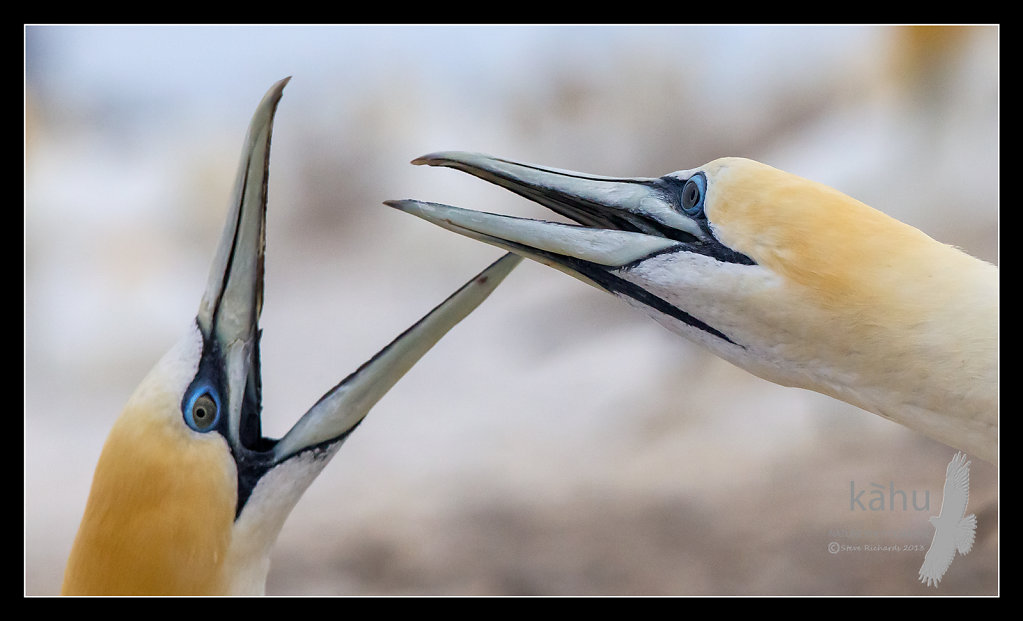 Gannet welcoming its mate back   SB181