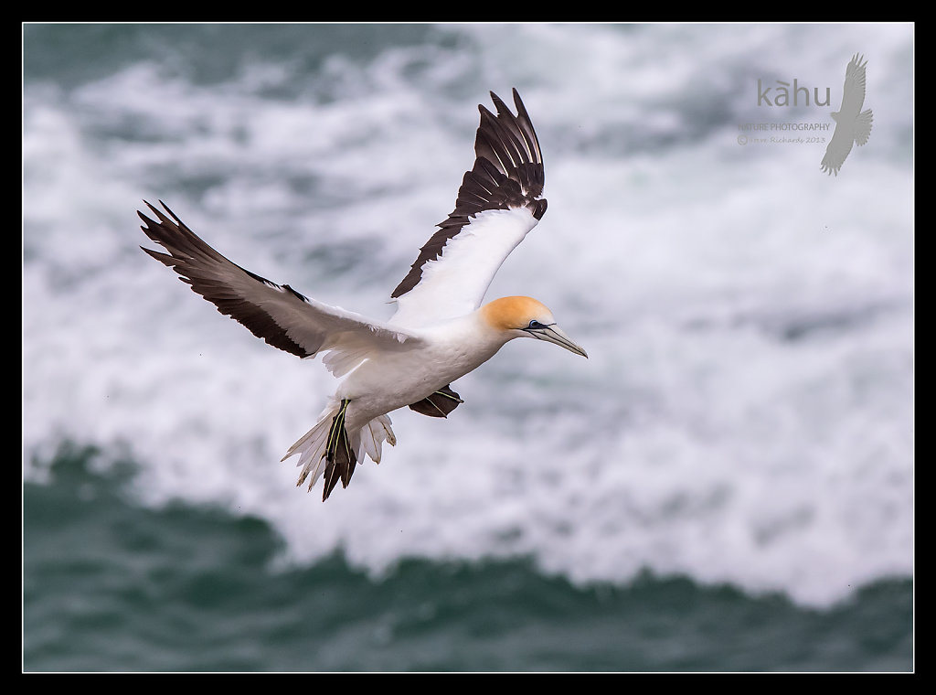 Gannet looking for its mate, Muriwai  SB183
