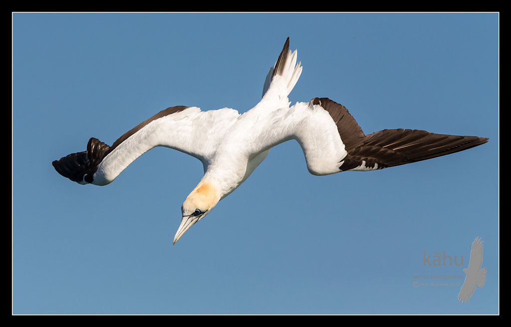 Gannet diving for yellowtail, Tutukaka    SB171