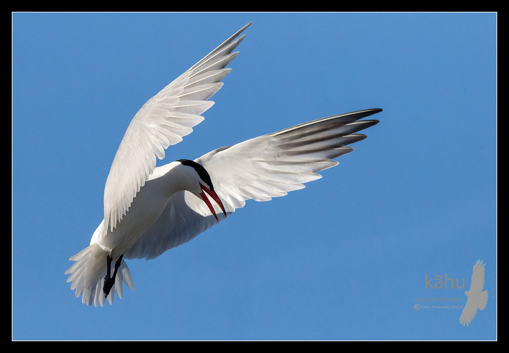 Caspian tern prepares to dive on an intruder  CT13