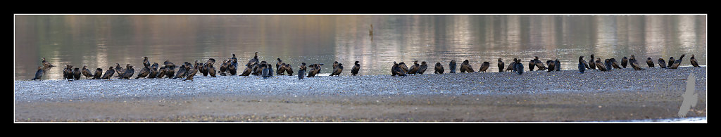 Big group of Little Black shags Pauahatanui Inlet  CT9