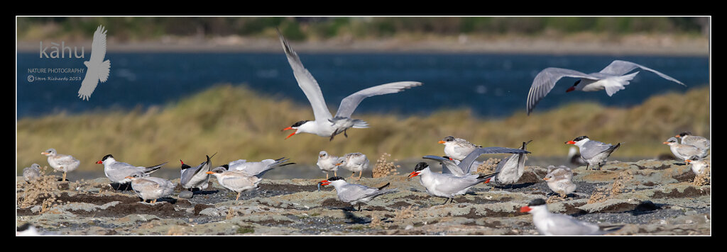 Caspian tern colony at Onoke Spit  CT15