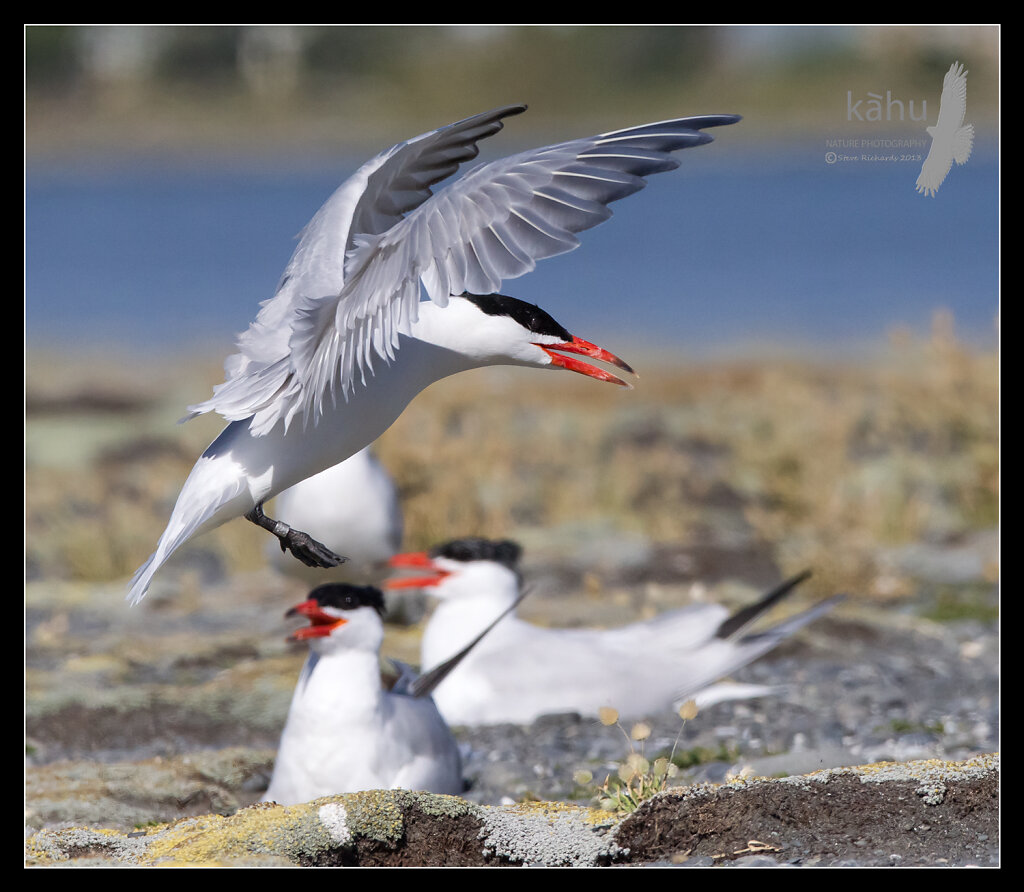 Caspian Tern lands in the colony at Onoke Spit  CT18