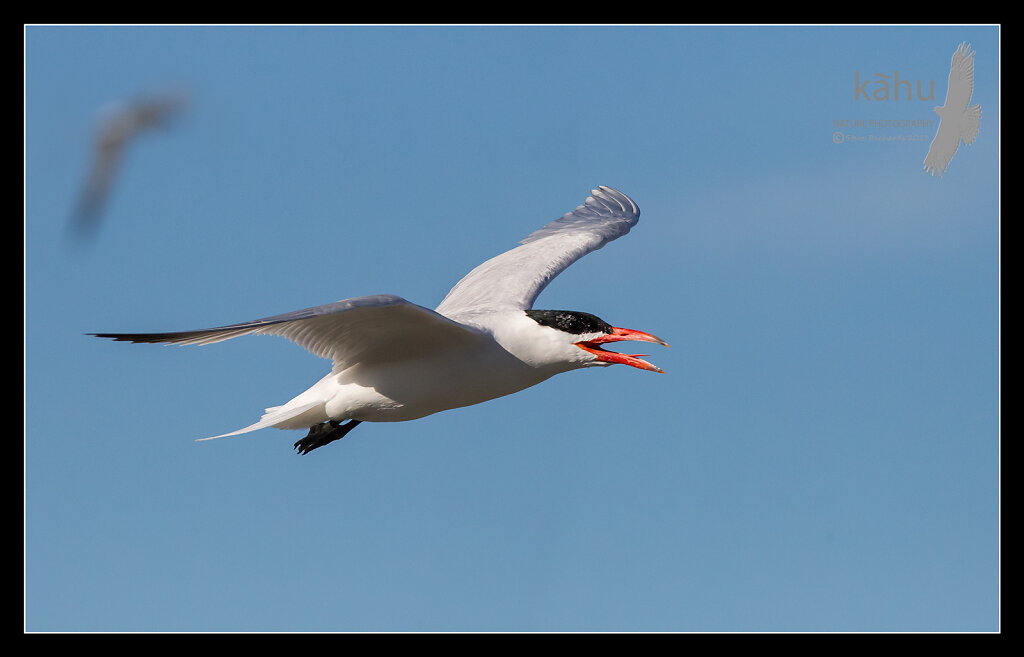 Capsian Tern in flight  CT19