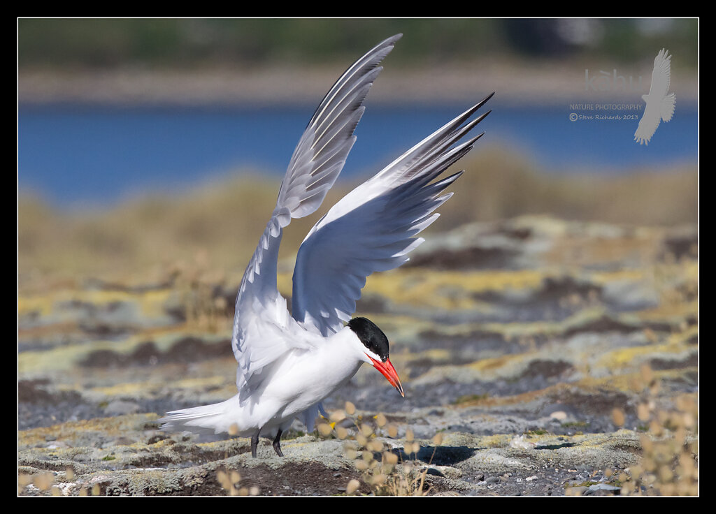Caspian Tern lands in the colony at Onoke Spit  CT20