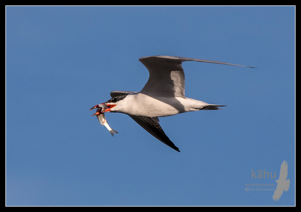 Caspian Tern returns with a fish for its chick  CT22