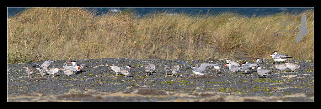 Caspian tern colony at Onoke Spit  CT23