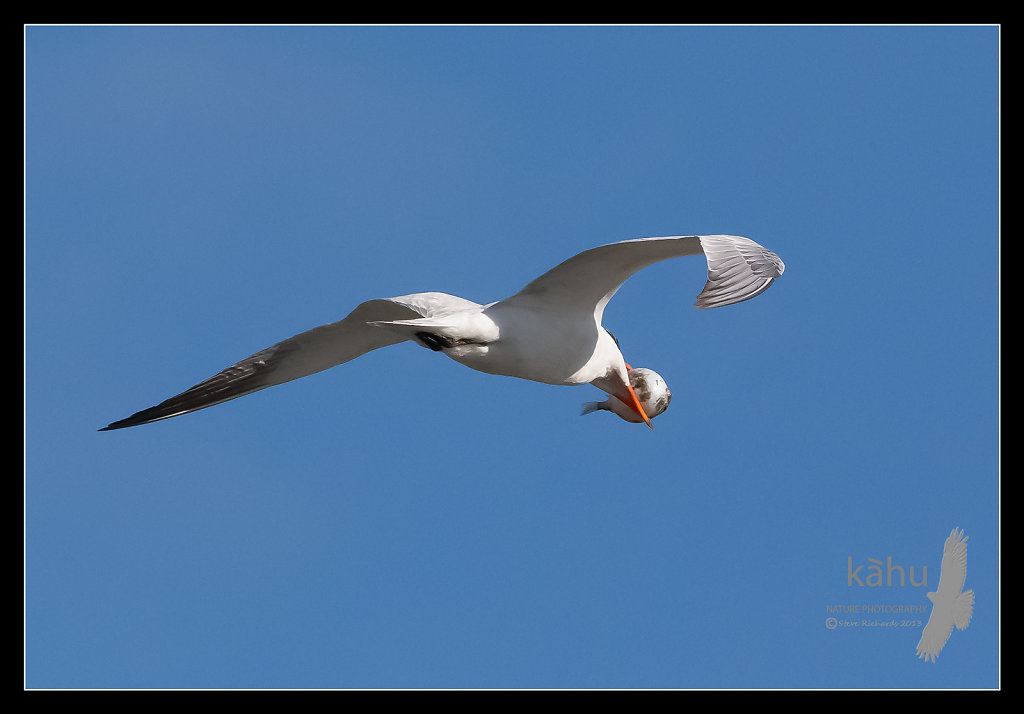 Caspian Tern with a puffer fish   CT29