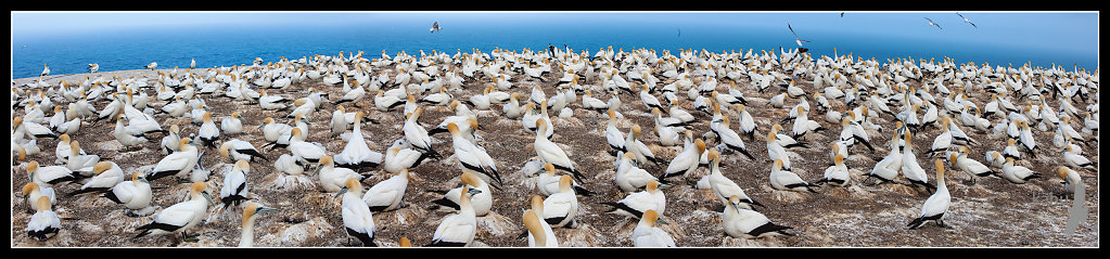 Cape Kidnappers Gannet Colony   SB153