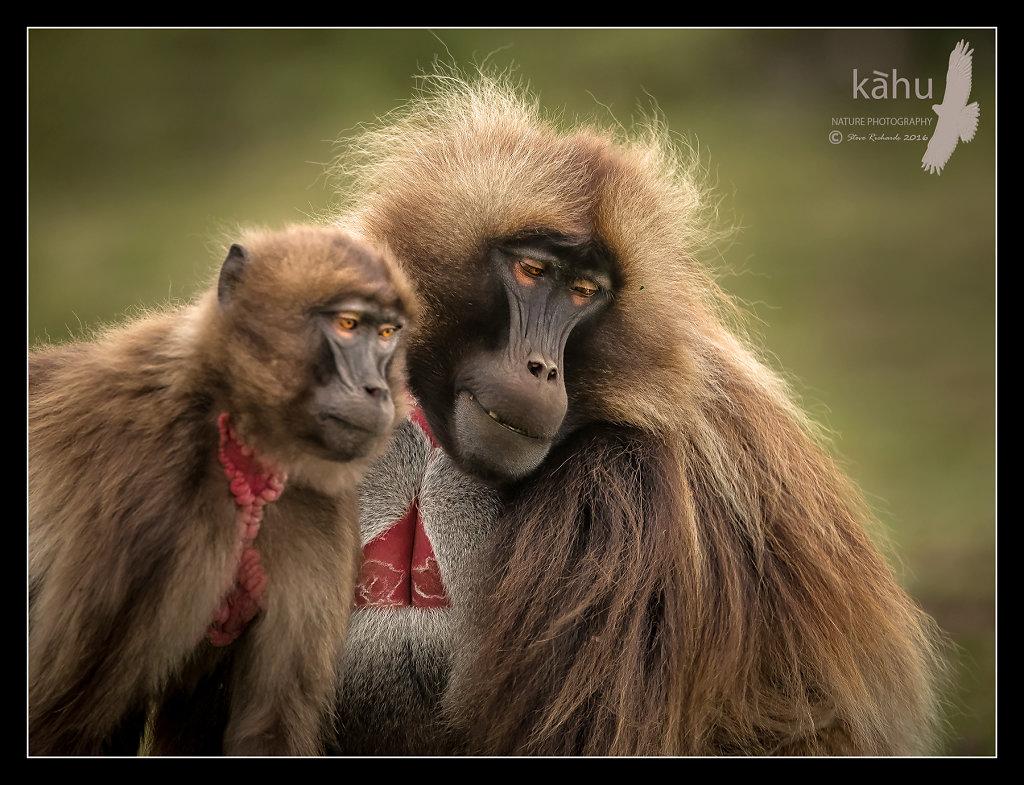 Gelada-Baboons.jpg