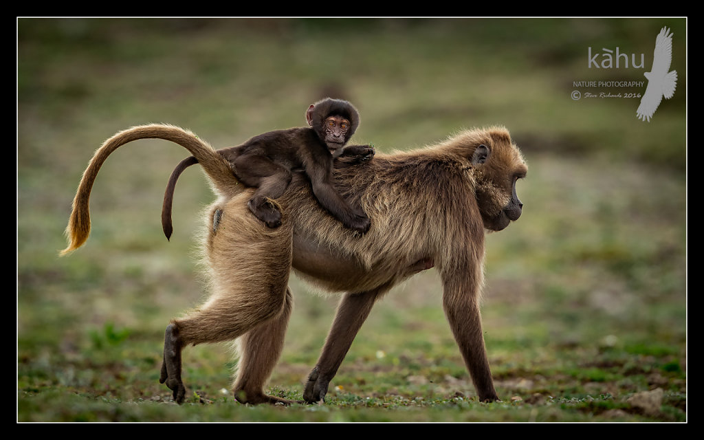 Gelada-mother-and-young.jpg
