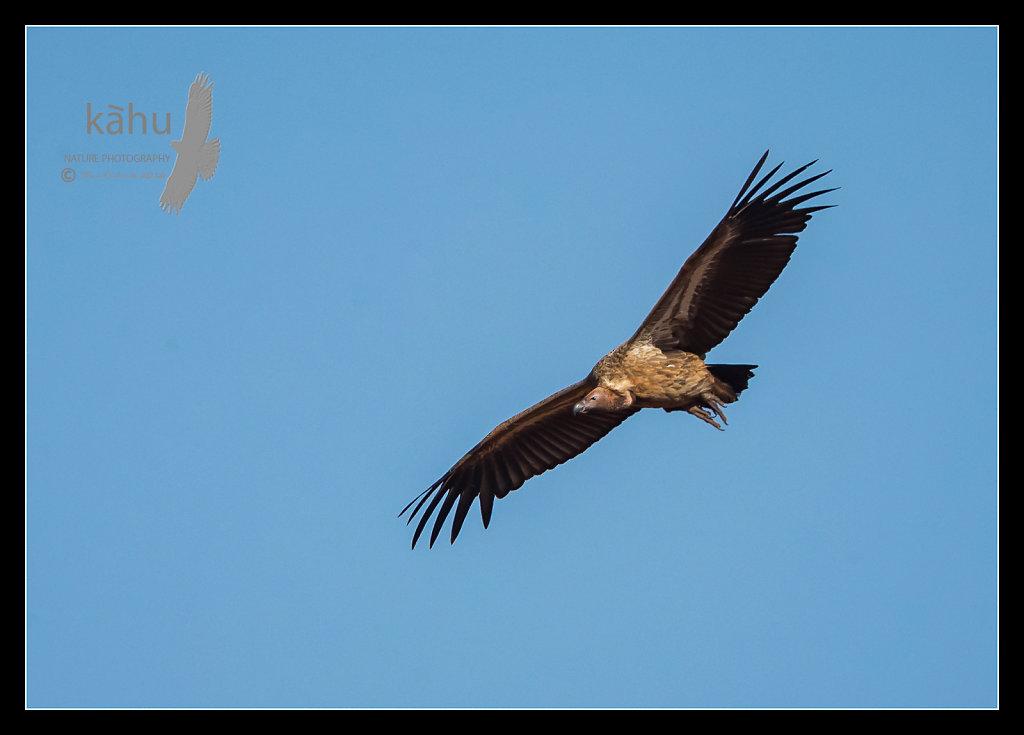 Ruppels-Vulture.jpg