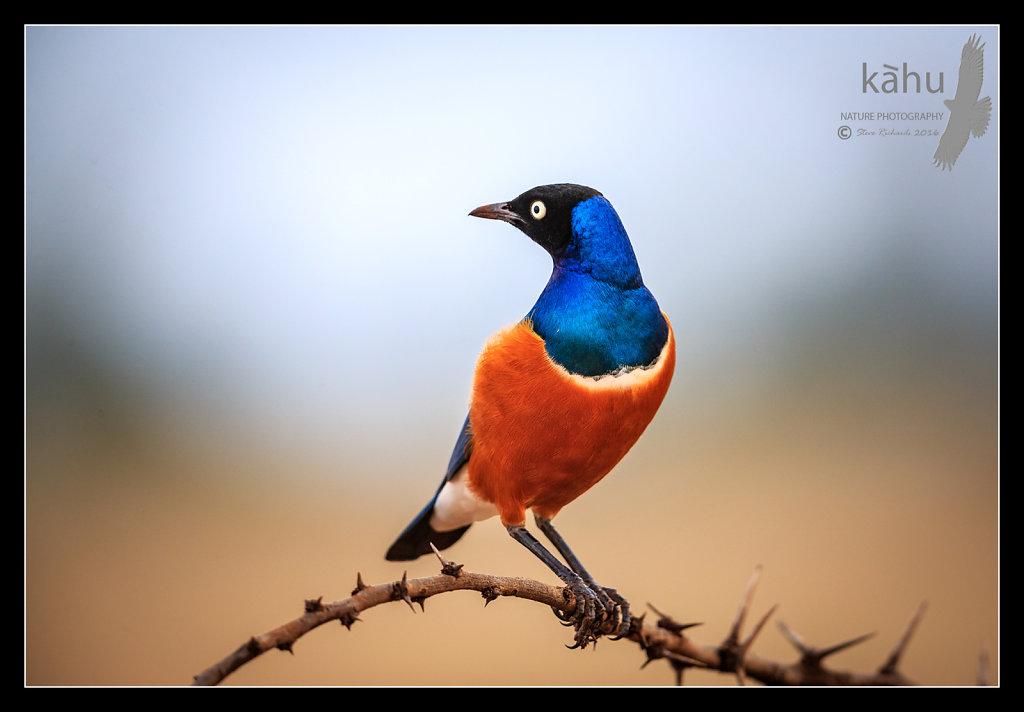 Superb-Starling2.jpg