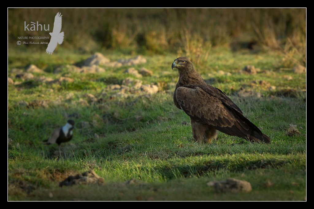 Tawny-Eagle.jpg