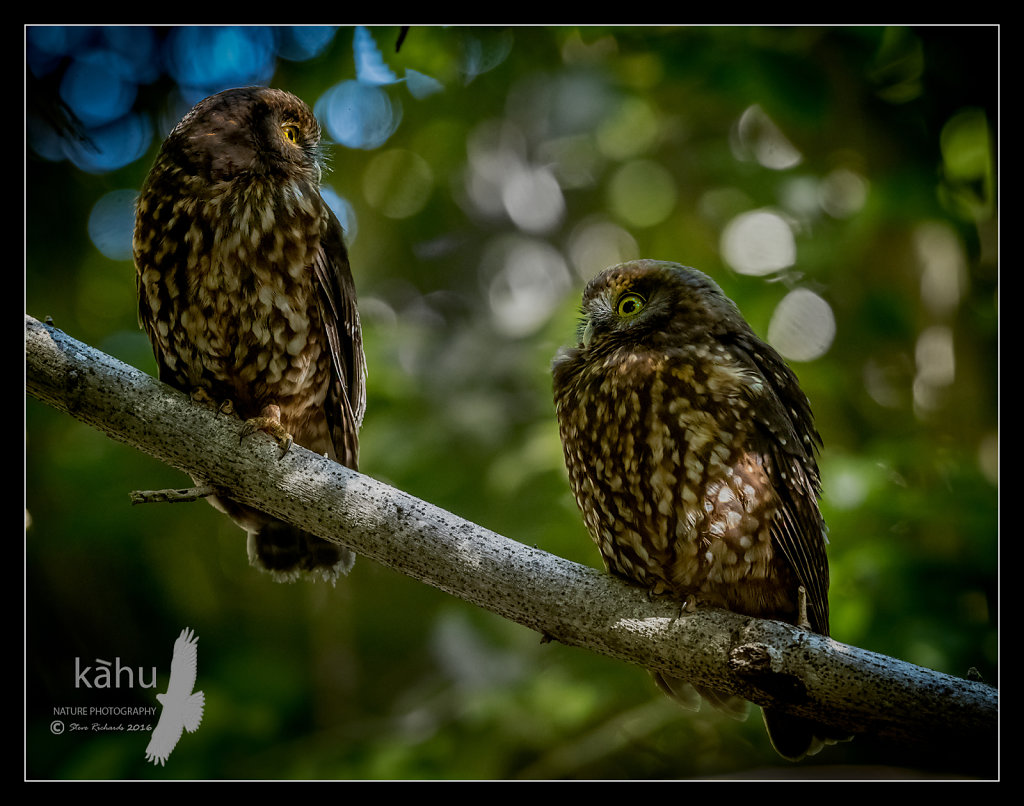 A male and female of Morepork