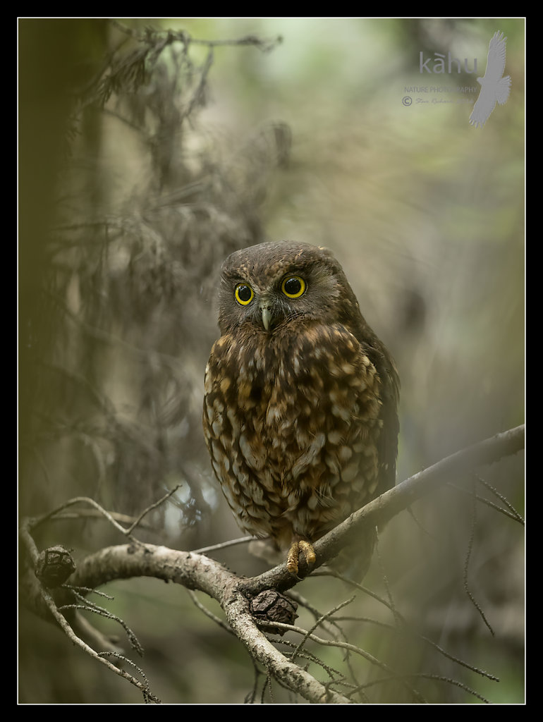 Morepork roosting amongst some conifers